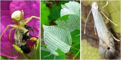 a spider eats a bee, leaf miner lines on an aspen leaf, a moth