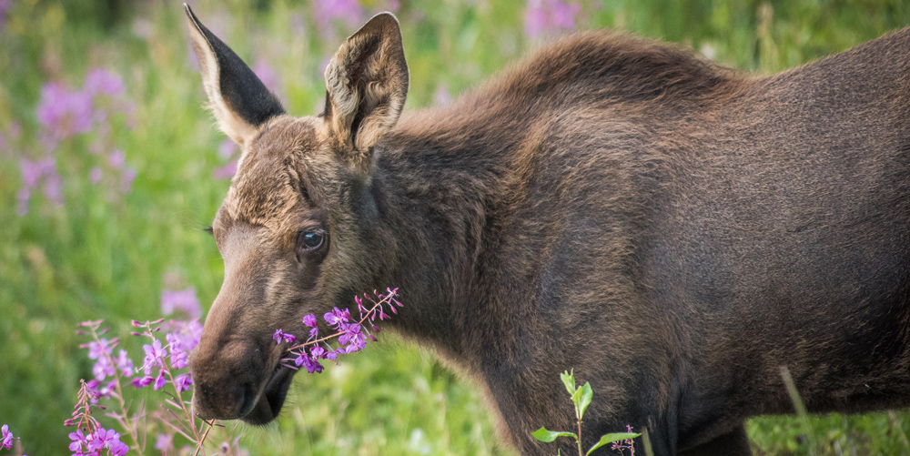 a moose chews on fireweed
