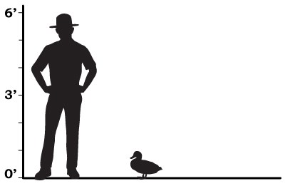 size comparison showing a park ranger towering over a duck