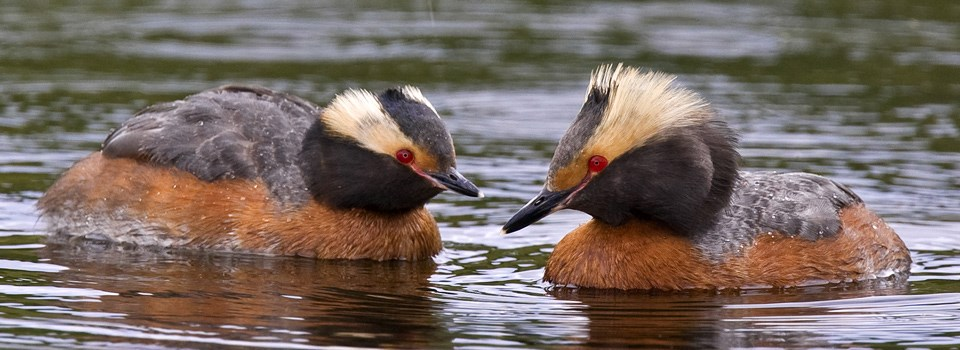 grebes swim in a lake