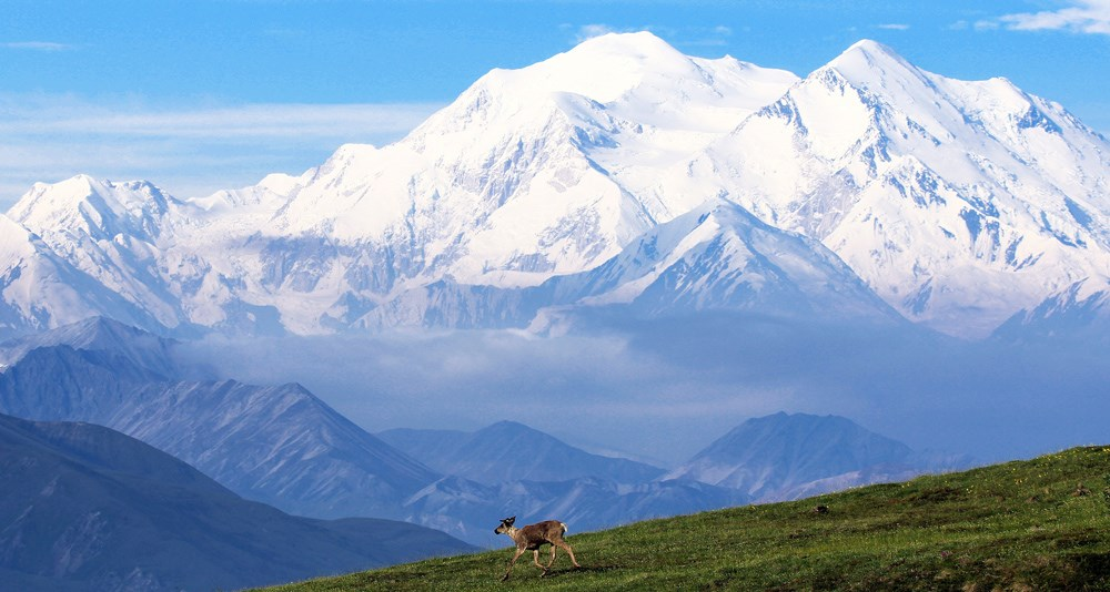 a caribou runs down a hill in front of Denali