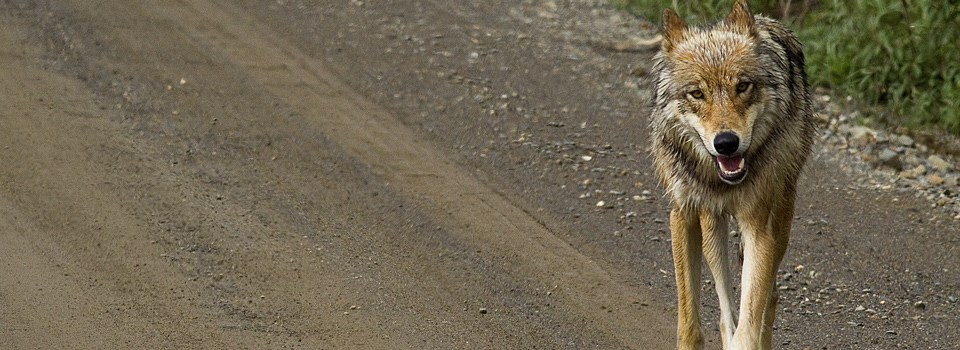 a wolf walks towards the camera on a gravel road