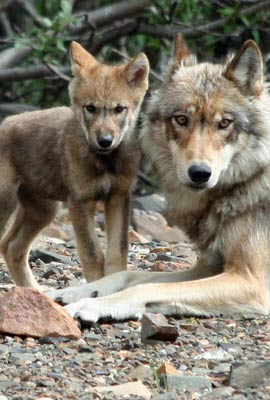 Wolf litters range from 2 to 10 pups