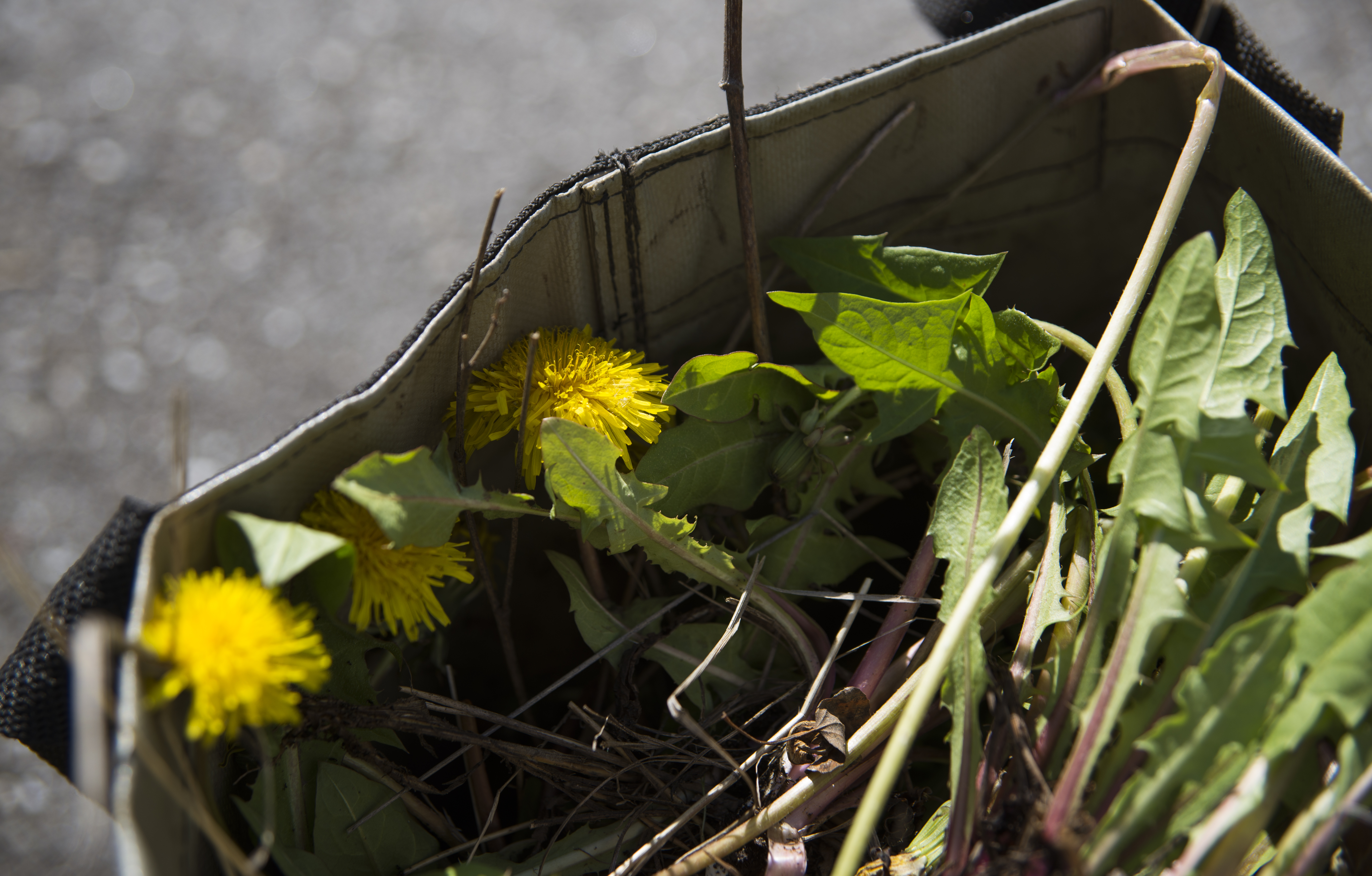 cardboard box full of dandelions