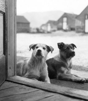 Image of sled dog pups in the 1930s