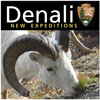 "logo of ""Denali: New Expeditions,"" a Dall sheep eating alpine vegetation"