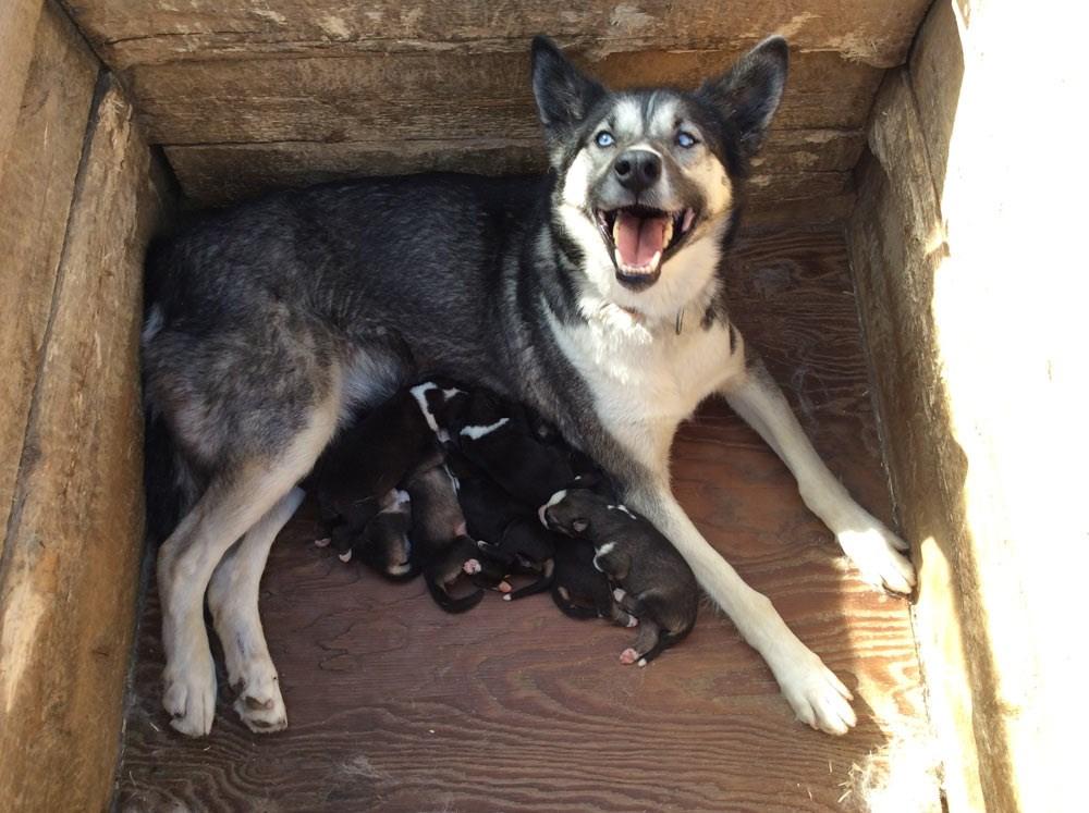 Webcam Sled Dog Puppies Denali National Park Amp Preserve