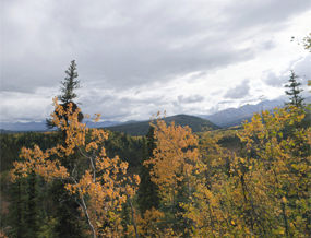 Scenic view of aspens and spruce forest, mountains in the background