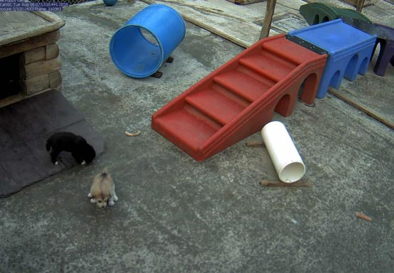 puppy cam screenshot showing a black and a tan puppy near a dog house