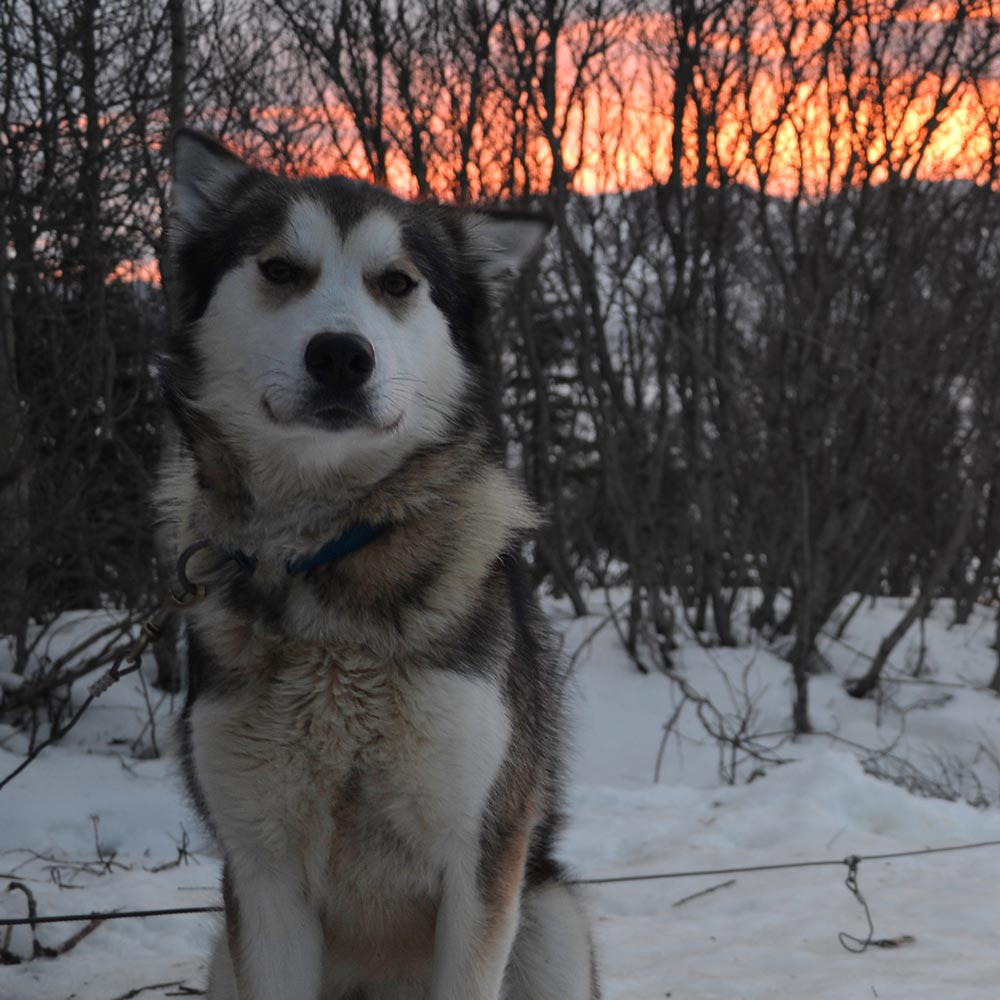 annie, a gray husky with white facial markings and chest, sitting in the snow in front of a sunset tinging the sky red