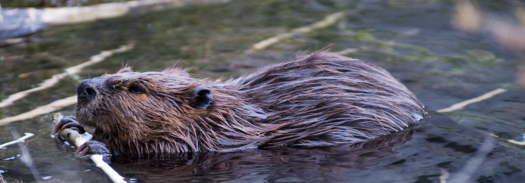 A beaver sitting in water chews on a stick.