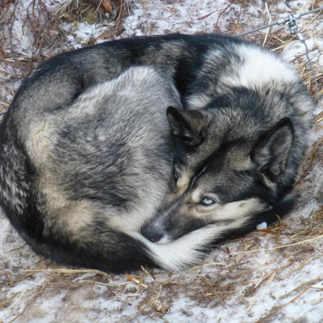 mostly dark-colored dog with tan and black facial markings, a white throat and bright blue eyes curled up in a ball on snow