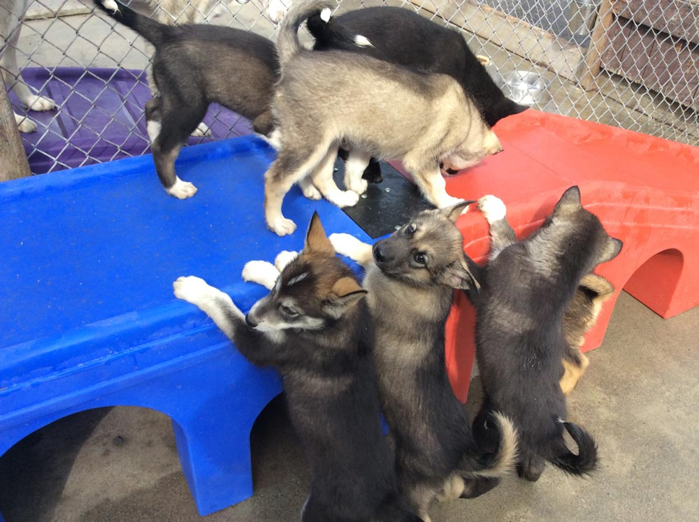 six puppies playing on a plastic table