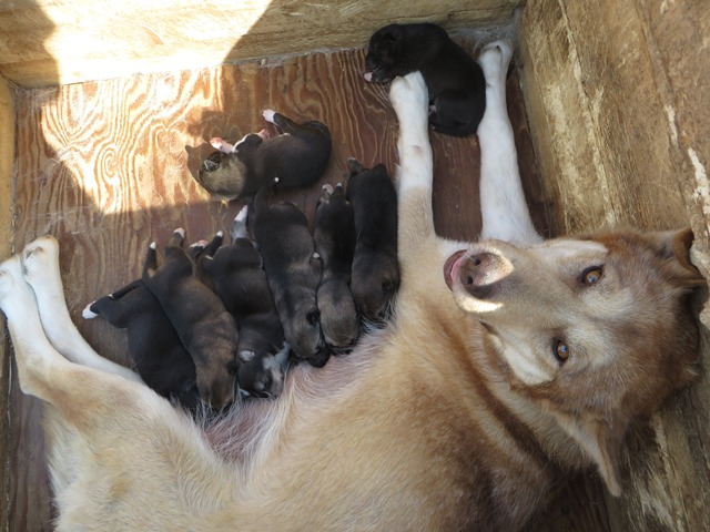 Sled dog and eight puppies in dog house