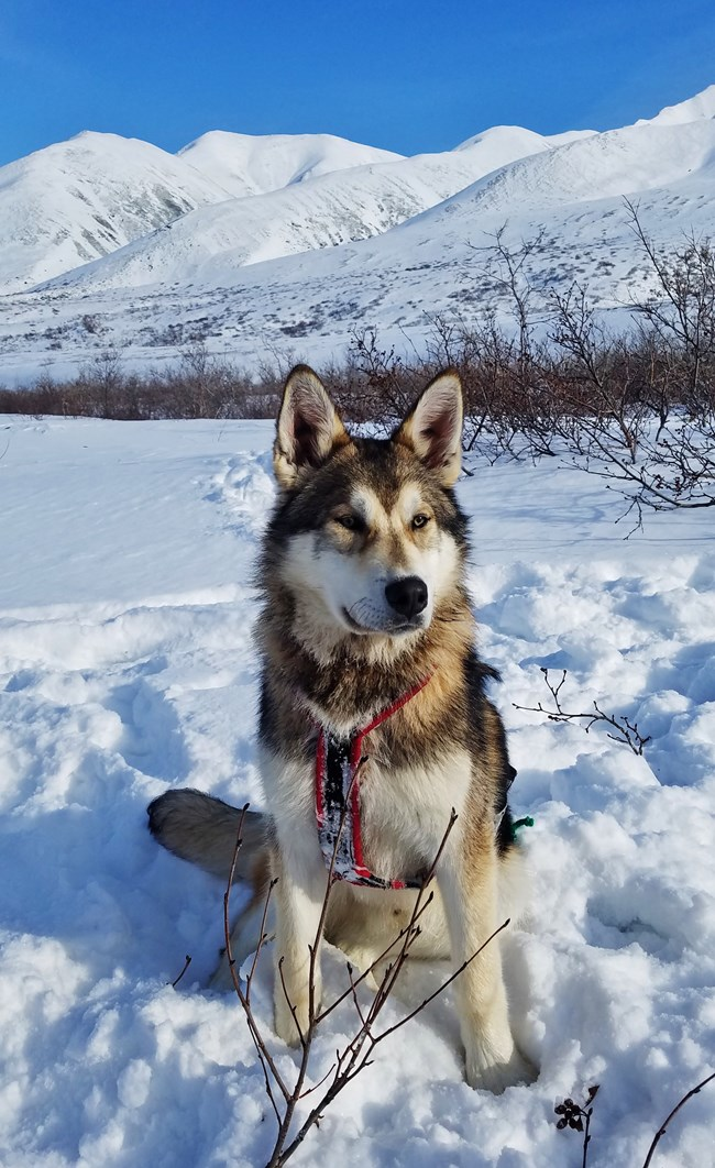 a sled dog sitting in a snowy landscape