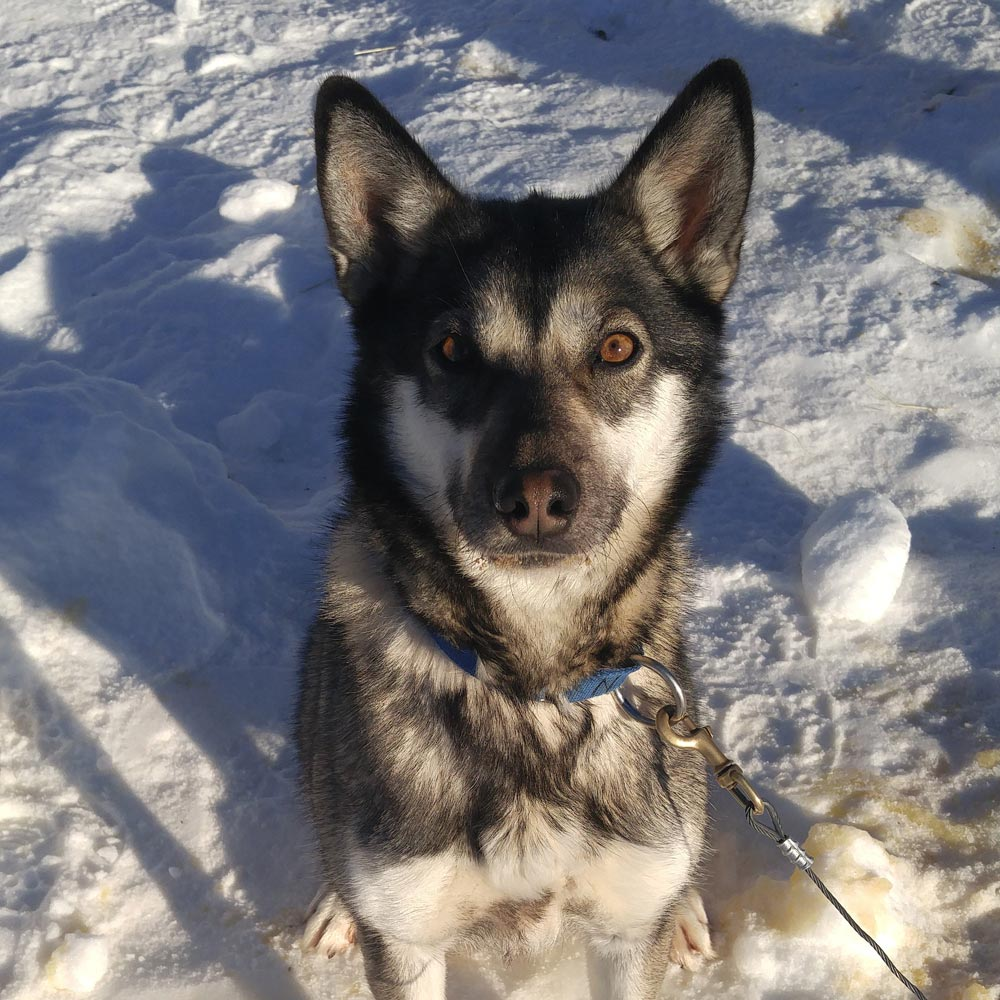 polly, a gray sled dog with white facial and chest markings