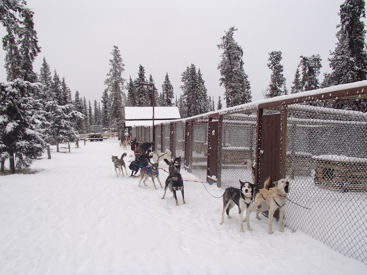 a team of sled dogs about to start running