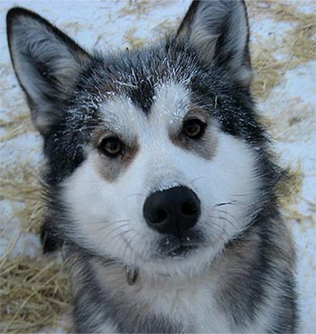 Closeup of Annie, a grayish husky with a mostly white facial mask and tan markings around her eyes.