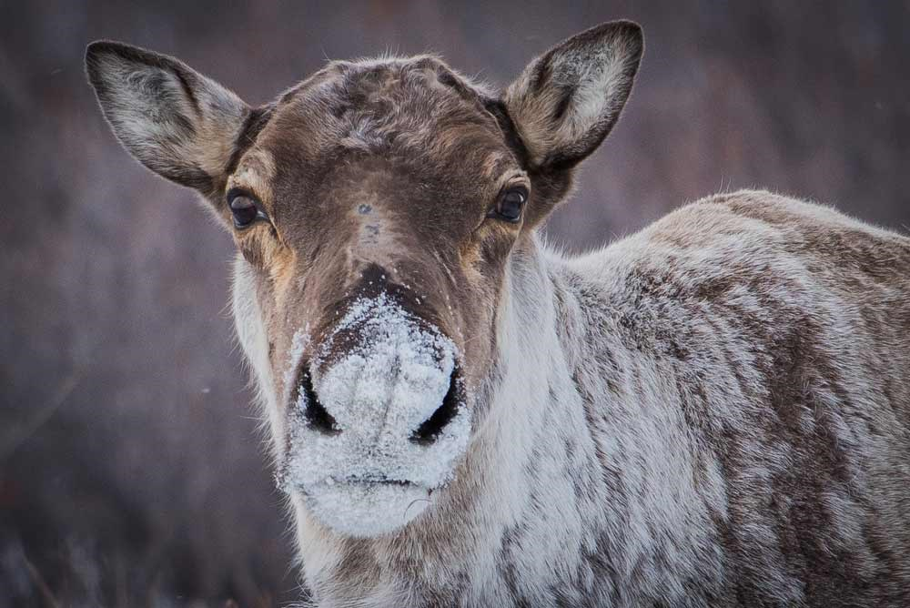 closeup of a caribou face, with snow dusting its nose