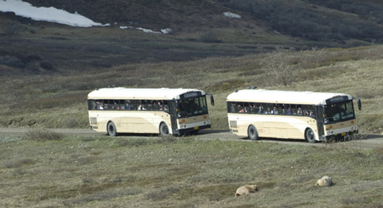 two buses parked on a dirt road, looking at two grizzly bears