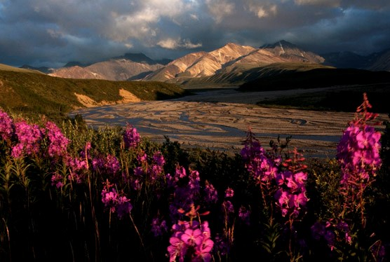 pink flowers in front of a wide gravel riverbar, mountains in the distance
