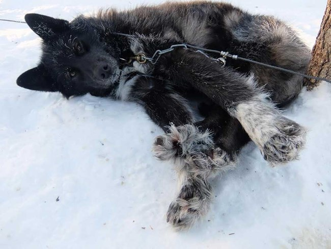 a black sled dog laying in the snow