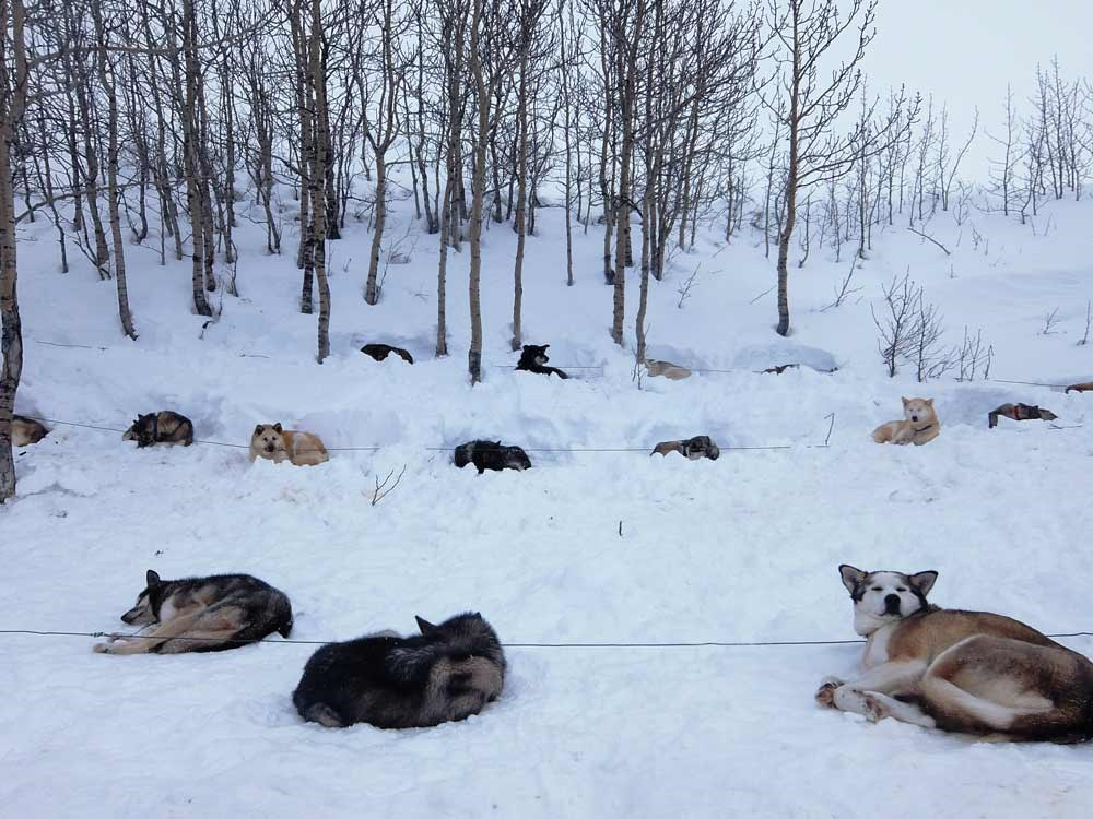 three lines of dogs nested in the snow, tethered to a line