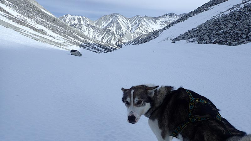 cache, a mostly gray sled dog, standing in front of a snowy mountainous landscape