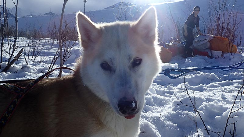 koven, a reddish brown and white sled dog laying in the snow
