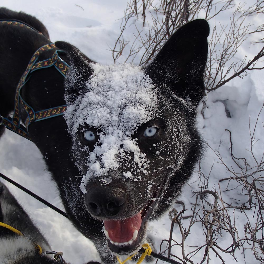 lucky, a totally black sled dog, with snow on his face
