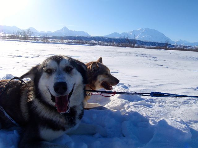 Two sled dogs in snow with mountain in background