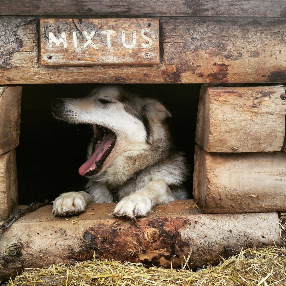 a dog yawning in a doghouse