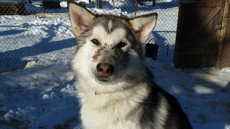 a white and gray colored alaskan husky with dirt on his nose