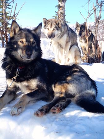 Three sled dogs sitting in snow