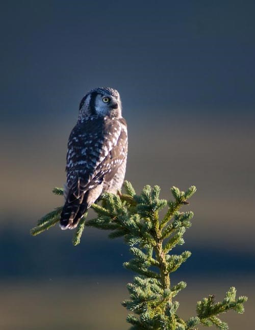 an owl sitting in the top of a spruce tree