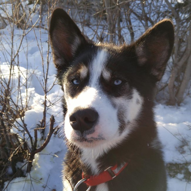prusik, a dark brown and black sled dog with white facial markings