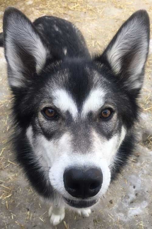 a husky with mostly dark gray and white coloring
