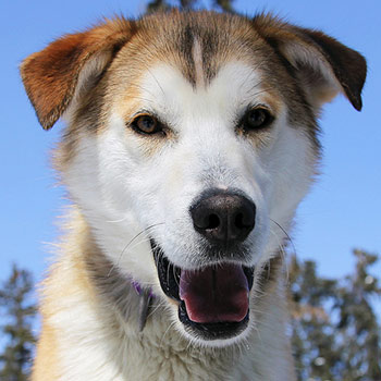 a mostly white sled dog with tan and orange colored head