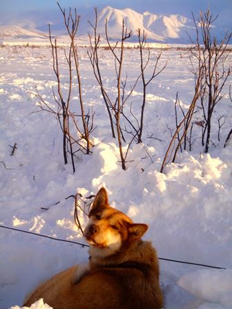 Sled dog in snow