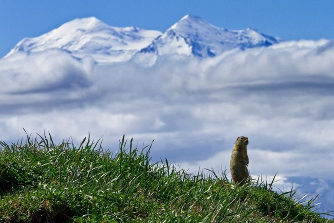 ground squirrel on a grassy hillside with a huge snowy mountain in the distance
