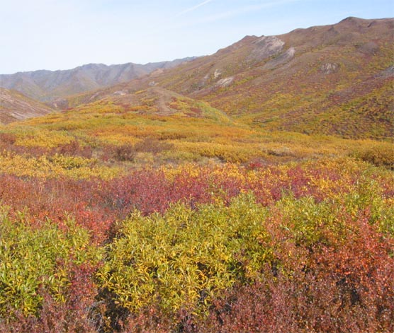bushes with red, orange, green and yellow leaves in front of a mountain