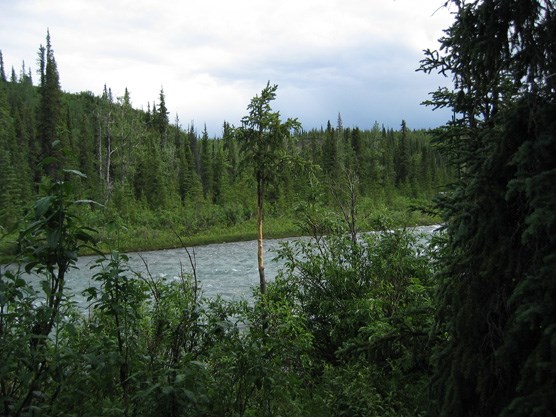 spruce trees and thick brush along either side of a river