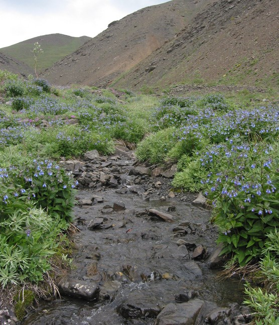 a shallow, rocky creek flowing through waist-high flowers past a rocky slope