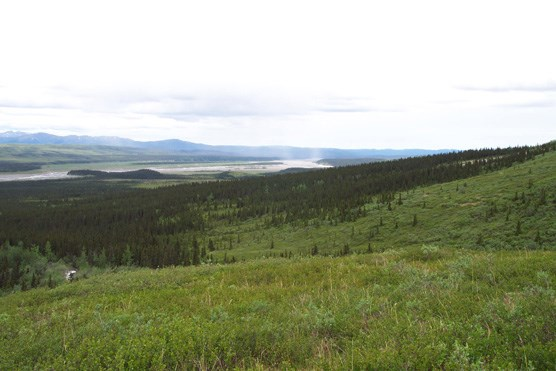 Spruce forest and the lower Toklat River, seen from the north side of the Wyoming Hills