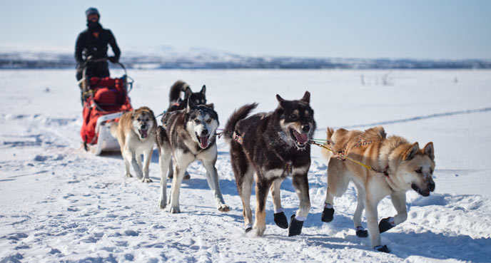 image of dog team and musher