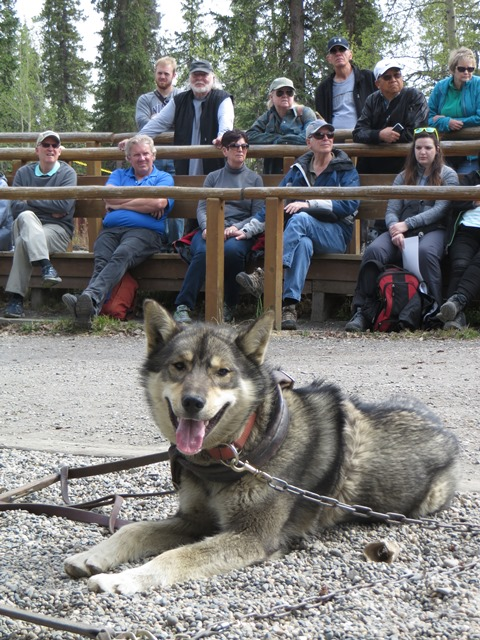 Sled dog resting in front of crowd