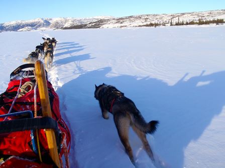 Sled dog running next to sled in snow