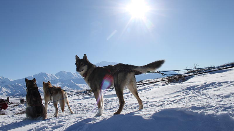 zahnie, a grayish sled dog, standing in front of other dogs on a snowy landscape and under a blue sky