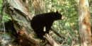 Black Bears are excellent tree climbers.
