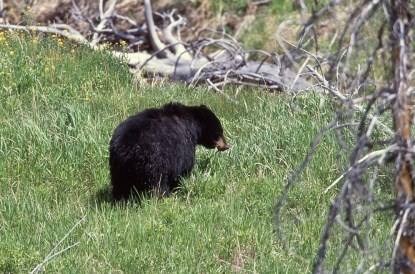 A Black Bear wanders through a grassy opening.